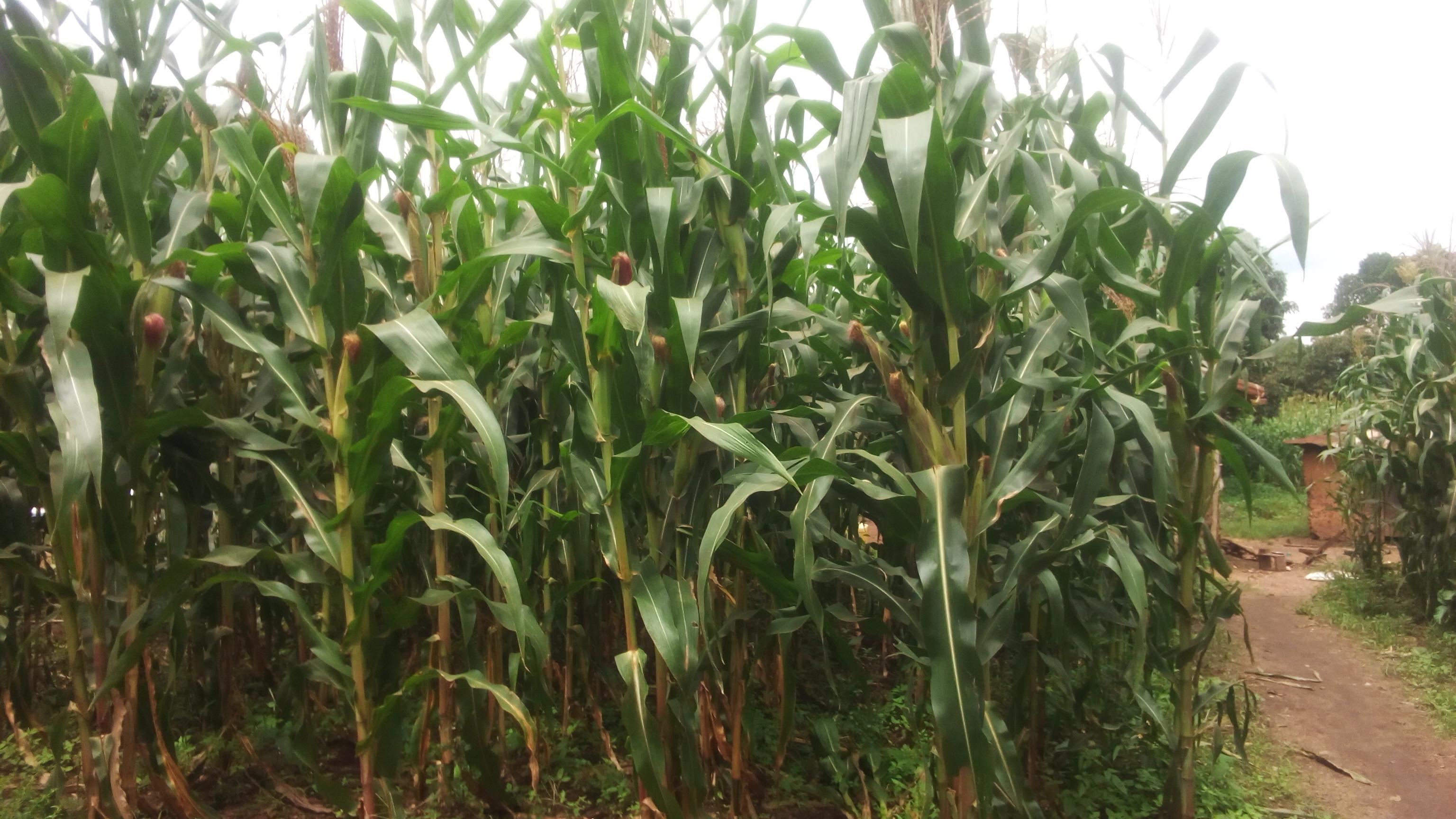 Maize garden in mubende district